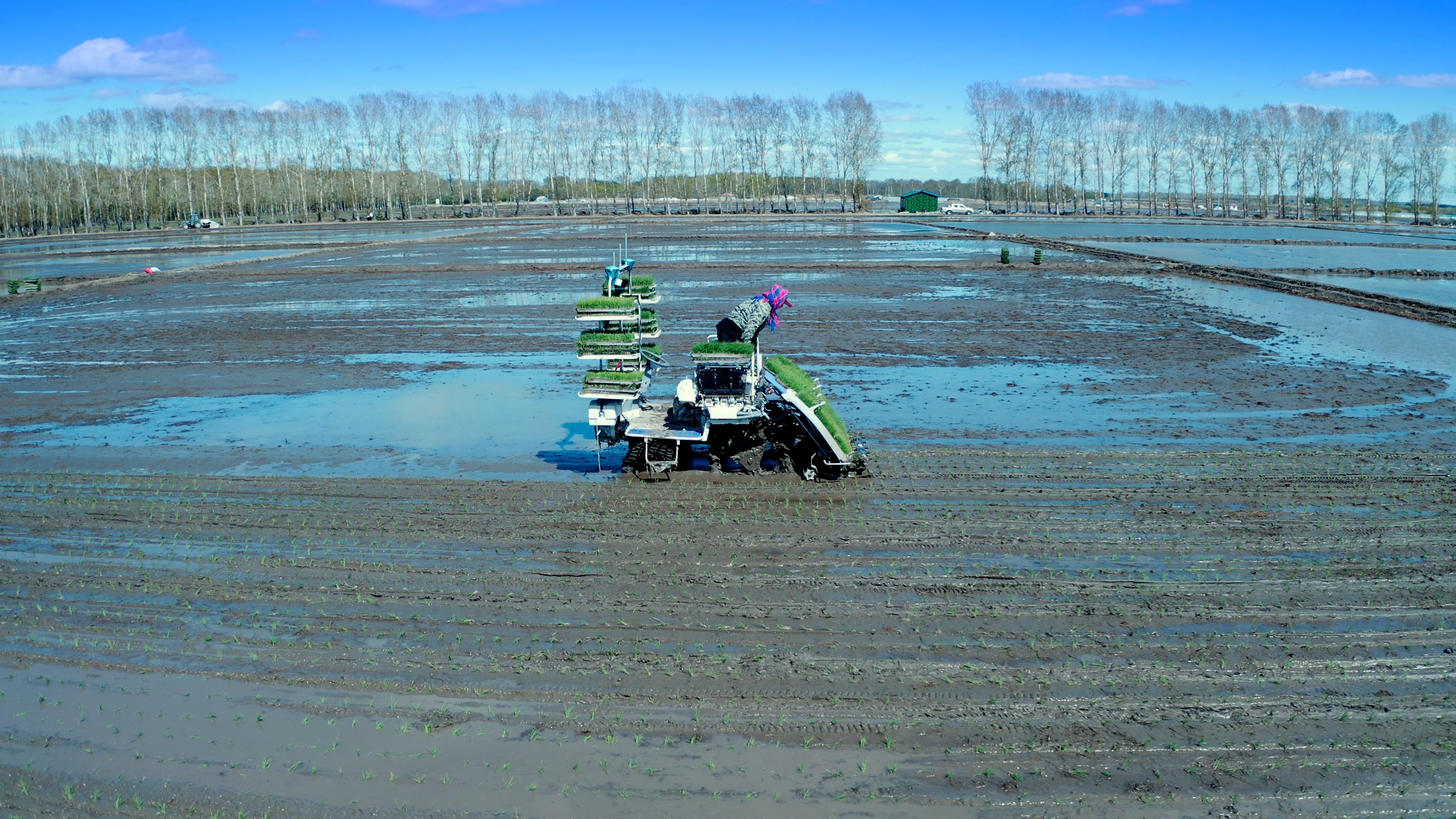 丰疆无人插秧机正在黑龙江一处农场运行着。